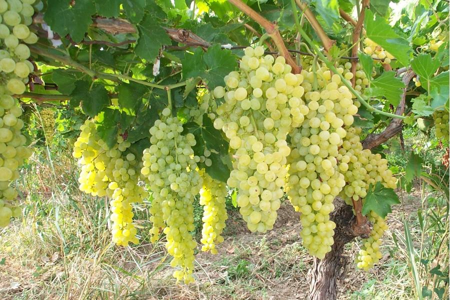 Выращивание сортового винограда 86
