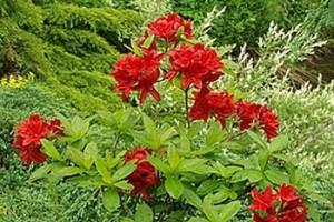Азалия крупноцветковая Набукко