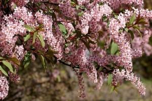 Черёмуха розовая Колората
