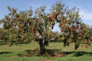 Дерево-сад яблоня Мартовское-Свежесть-Вишневое