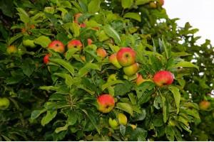 Дерево-сад яблоня Синап орловский-Свежесть-Строевское