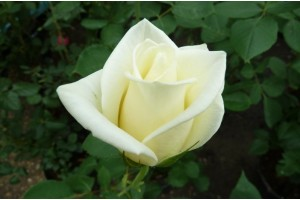 Роза Анна Мария