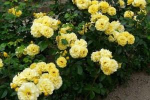 Роза Фрейзия