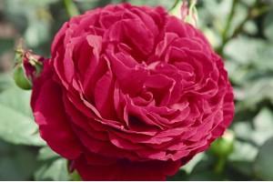 Роза Госпель