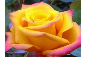 Роза Конго