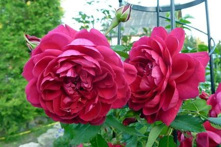 Роза Квадра