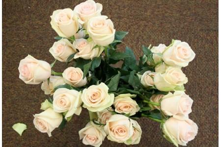 Роза Ла Перл