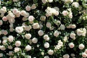 Роза Пале Рояль