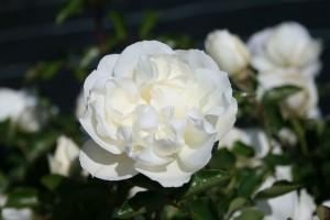 Роза Вайт Мейдиланд