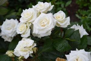 Роза Вавиен Вайт