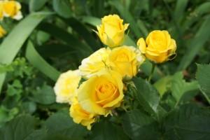 Роза Желтая кукла