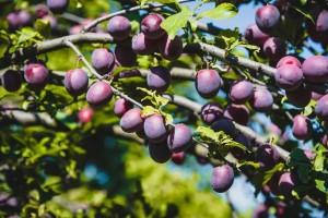Сливо-вишневый гибрид