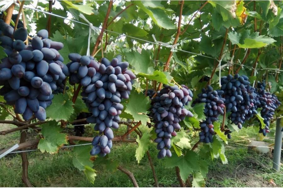 это фото коронки винограда памяти негруля установим весь