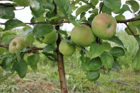 Яблоня карликовая осеннее Низкоорослое