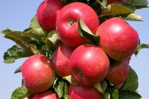 Яблоня колоновидная Валюта