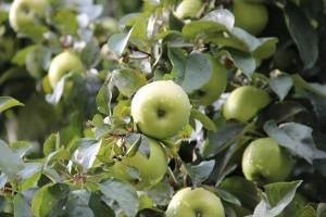 Яблоня кустовая Кроха