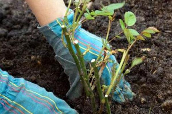 Посадка роз осенью: условия выращивания