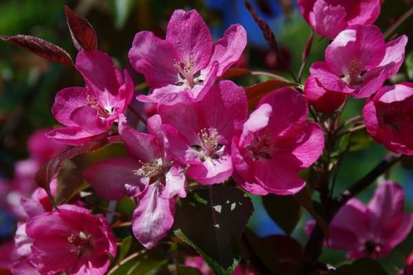 Саженцы Яблони декоративной - Каталог для садоводов