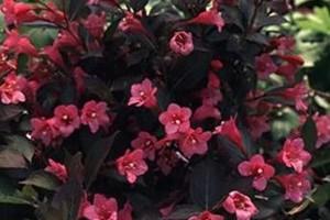 Вейгела цветущая Санни Принцесс