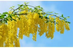 Акация желтая