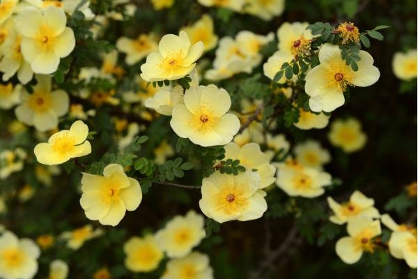 Саженцы Лапчатки - Каталог для садоводов