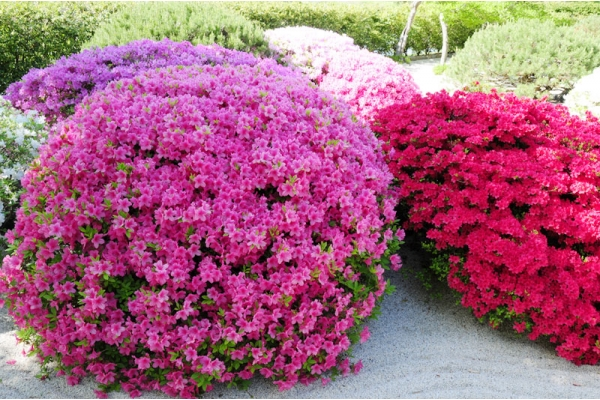 Саженцы Рододендрона - Каталог для садоводов