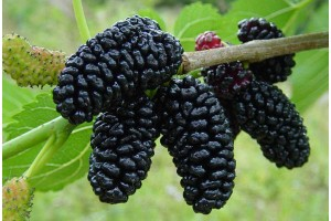 Шелковица чёрная Баронесса