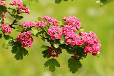 Боярышник розовомахровый