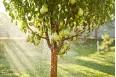 Груша плодовая