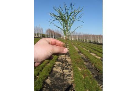 Сеянцы сосны обыкновенной 2-х лет