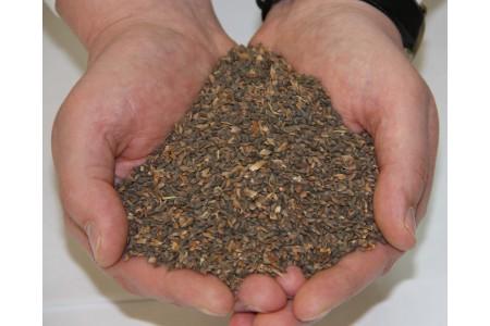 Семена ели сибирской