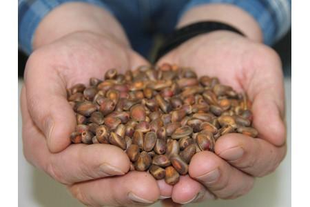 Семена сосны сибирской кедровой