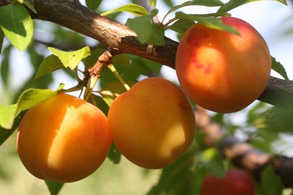 Саженцы Алычи - Каталог для садоводов