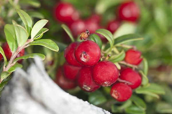 Саженцы Брусники - Каталог для садоводов