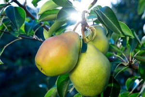 Дерево-сад груша Осенняя Яковлева-Лада-Августовская роса