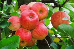Дерево-сад яблоня Конфетное-Мельба-Апорт