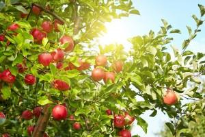 Дерево-сад яблоня Синап орловский–Ветеран–Спартан