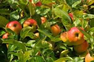 Дерево-сад яблоня Яблочный спас–Медуница–Имрус