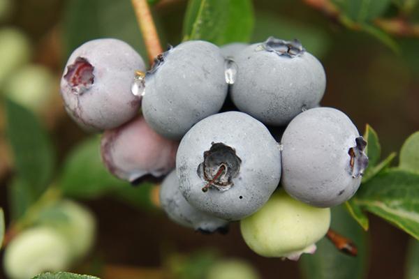 Саженцы Голубики - Каталог для садоводов