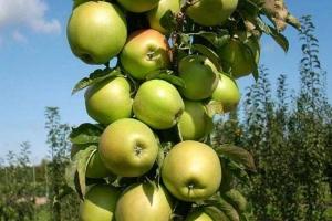 Яблоня колоновидная Искорка