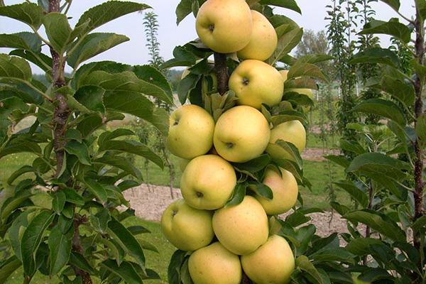 Выращивание колоновидной яблони. Секреты ухода.