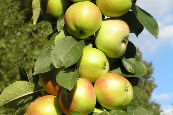 Саженцы Яблони колоновидной - Каталог для садоводов