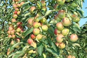 Яблоня колоновидная Зелёный шум