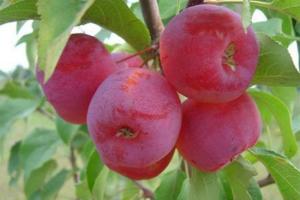 Яблоня ранетка Фейри