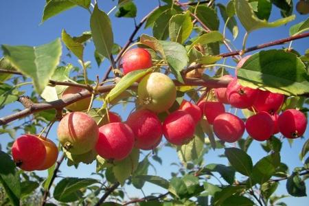 Яблоня ранетка Никита