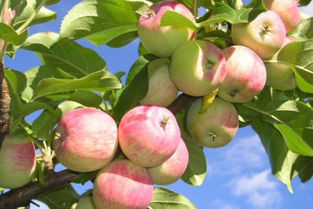 Яблоня Южноуральское зимняя