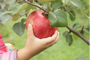 Яблоня Конфетное Летняя