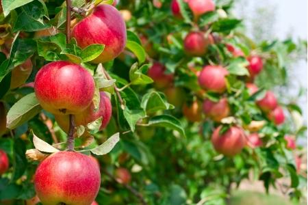 Яблоня Ковровое Осеннее