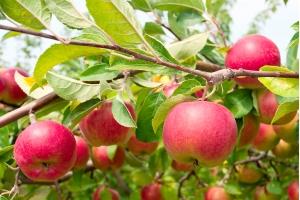 Яблоня Ласковое Осенняя