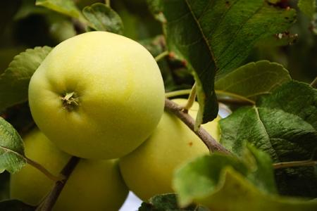 Яблоня Данила Осенняя